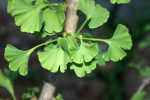 ginkgo-biloba-tree-Testosterone Supplement Guide