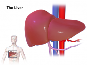 liver converts cholesterol into testosterone