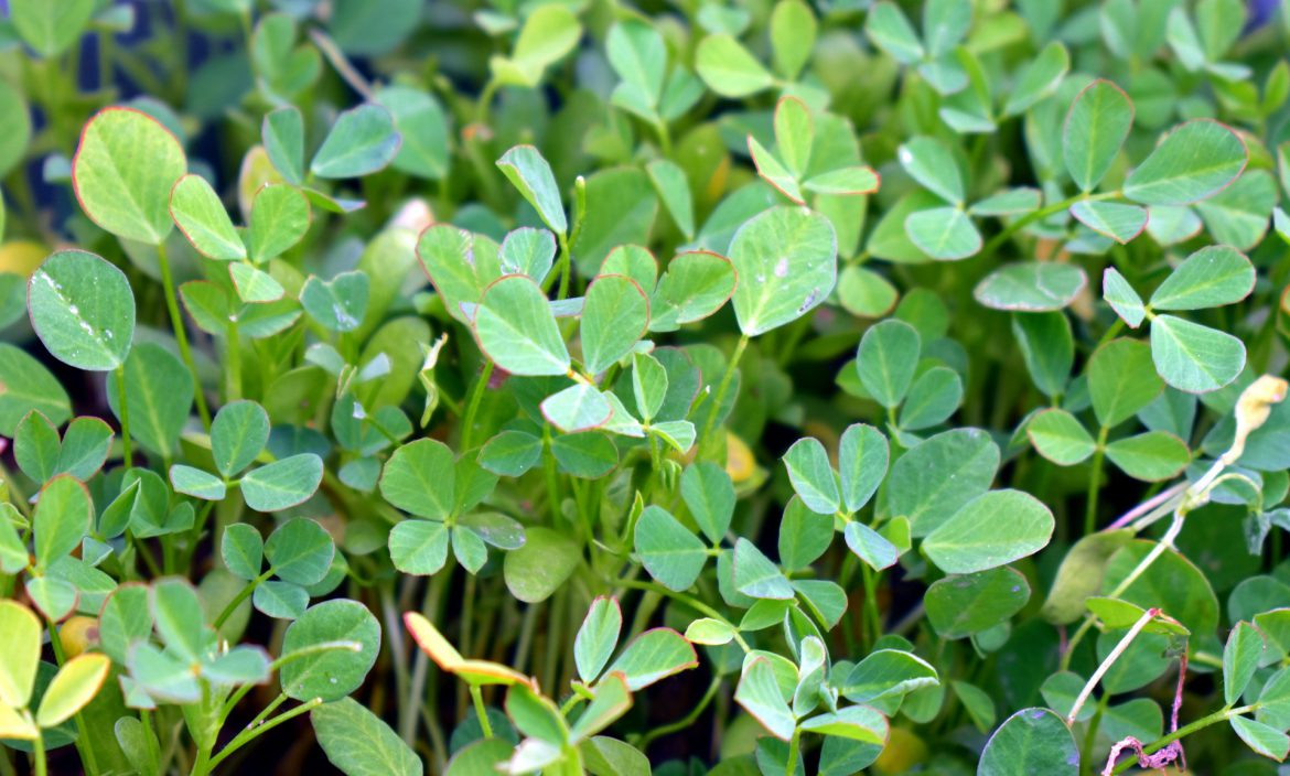 fenugreek and testosterone